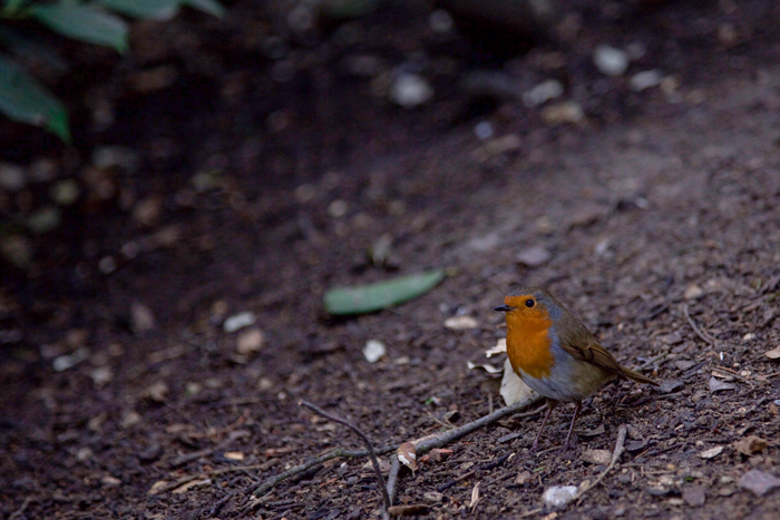 robin redbreast in Richmond
